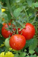 50 Tomato Seeds Patio F Hybrid Tomato Seeds
