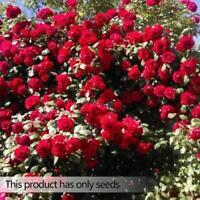 100Pcs Fuchsia Red Rose Samen Perennial Blumen Garten Dekor Pflanzensamen