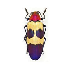 One Real Chrysochroa Buq 00004000 Ueti Blue Pink Jewel Beetle Buprestid Malaysia