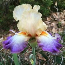 Tall Bearded Iris Wings At Dawn space age Plant Rhizome Perennial