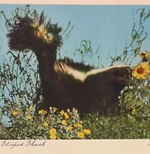 Postcard, Skunk, 1953 Canada, Vintage P23