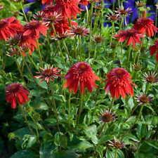 Rouge Soleil-Échinacée Purpurea /'Magnus/' vivace dureté 0,5 L Pot