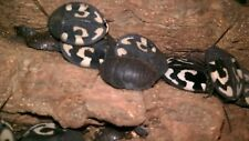 ## young Question Mark Cockroach (Therea olegrandjeani) ## spiders, insect ###