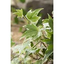 40 pezzi Hedera Helix YELLOW Ripple prati si arrampichi pianta giallo verde edera