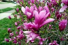 10 Semillas de Magnolia Rosa (Magnolia seeds)