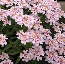 """IBERIS AUROSICA """"SWEETHEART"""", PINK CANDYTUFT  20 special seeds"""