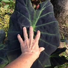 Colocasia Esculenta Illustris x 3 small Plants * BLACK BEAUTY TARO * Pots~Ponds