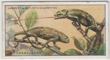 Chameleons Lizards Catching Insect Prey Sticky Tongue 85+ Y/O Trade Ad Card
