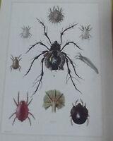 Objet scolaire Planche insecte N°189 MITE DE LA FARINE,FROMAGE,ARAIGNÉE ROUGE