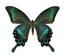 ONE REAL BUTTERFLY BLUE GREEN PAPILIO MAACKI SUMMER FORM UNMOUNTED WINGS CLOSED