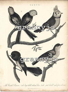 Original 1821 Copperplate Engraving of The Parus Group  by  John Pass