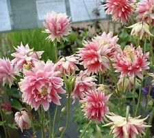 100 Columbine Seeds Pink Aquilegie Nora Barlow Seeds Double Flower