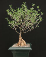 mestoklema tuberosum Extremely rare succulent,bonsai plant