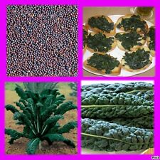 20 Seeds Cabbage Black Tuscan Tuscan Black Cabbage
