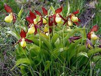 Cypripedium calceolus Gelbe Frauenschuh garten winterharter orchidee