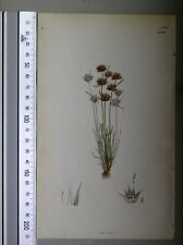 English Botany, Smith, Sowerby, handcoloured copperplate, 511*, 3.Edition, 1850.