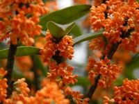 Orange Flowering Fragrant Tea Olive (osmanthus) - Live Plant - Quart Pot