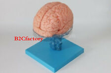 Life Size 23*15*18CM Medical Anatomical Human Brain Model With Arteries