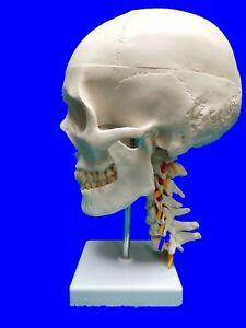 Life Size Human Skull with Neck Spine Skeleton Anatomy Model UK Stock