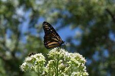 Frostweed -100 + seeds-Pollinator Food