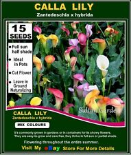 CALLA LILY- (Zantedeschia hybrida) MIX Colors- 15x  SEEDS