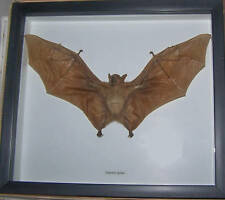 REAL DRIED BAT TAXIDERMY EONYCTERIS IN SHADOWBOX FRAME