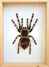 Unique Real Tarantula (Acanthoscurria geniculata) Taxidermy - Mounted,Framed