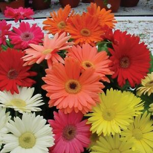 Gerbera Daisy Hybrids Mix Flower Seeds (Gerbera Jamesonii) 10+Seeds