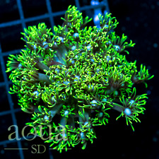 New listing Asd - 119 Electric Love Goniopora - Wysiwyg - Aqua Sd Live Coral Frag