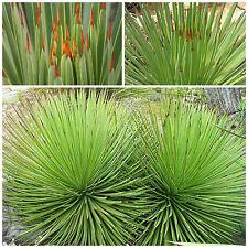 10 semi di agave striata, succulente,seed succulents
