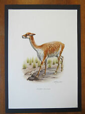VINTAGE PRINT OF VICUNA EDUCATIONAL SCHOOL CHART ZOOLOGY ALPACA  LLAMA