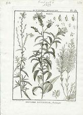 Redouté P.J Célèbre Peintre - Rare Gravure Originale de 1789 - Gaura Pl 281