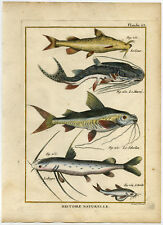 Antique Fish Print-TIGER SHOVELNOSE-CATFISH-MANDI-GLYPTOTHORAX-Bonnaterre-1788