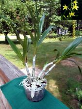 Ansellia africana 'Garden Party' species orchid plant/scarce yellow form-Roots!