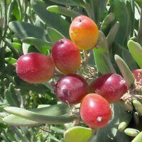 NITRARIA billardierei Native Grape Seeds (N 124)