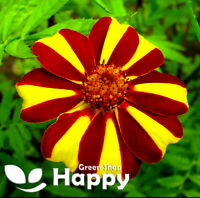 FRENCH MARIGOLD - DANDY STRIPED 150 SEEDS - Tagetes patula nana - ANNUAL FLOWER