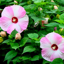 Hardy Luna Pink Swirl Huge Dinnerplate Hibiscus 10 seeds HUGE FLOWERS COMB S/H!