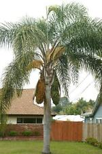 Queen Palm { Syagrus romanzoffiana } -  9 seeds + bonus!!