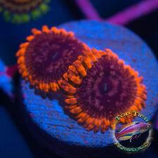 New listing Flaming Eclipse - Wysiwyg Live Coral Frag- Top Tier Aquatics