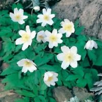 Wildflower Seeds - Wood Anemone - 100 Seeds