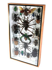 Real Butterfly Insect Bug Taxidermy Display in Framed Box Big Set Gift gpasy 20