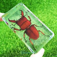 Red Lucky Lucanidae Beetle Specimen Paperweight Kids Educational Gifts 73*40mm