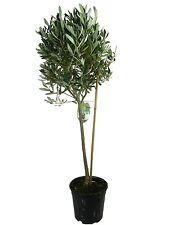 Olivenbaum, Oliven Stamm (Olea europaea) 100-120cm