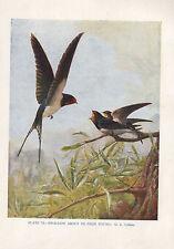 VINTAGE BIRD PRINT ~ SWALLOW FEEDING YOUNG
