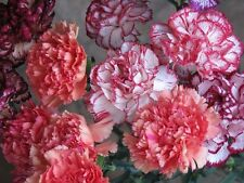 Clove Flower Seeds Dianthus Strayped mixture from Ukraine