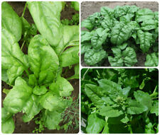 100 Green Spinach Vegetable Seeds Mixed Garden Water Kang Plant Leaf Grass