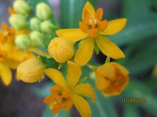 Asclepias curassavica'Silky Gold'-Swamp milkweed-Orange flowers-30 fresh seeds