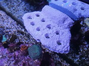 9-Hole Magnetic Frag Rack (For Use On Upto 12mm Glass) ( Marine , Coral , Reef )