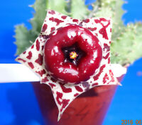 Huernia plowesii , 1 unrooted stem , Phyto available