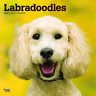 Labradoodles 2020 Square Wall Calendar by Browntrout FREE POST
